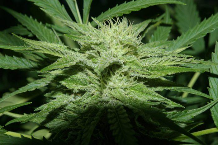 Albino Fire Skunk OG | Cannabis seeds