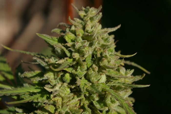 Snowberry Blue seeds Digital Genetics