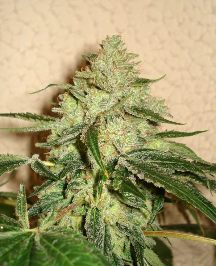 RoadDawg Female | Cannabis seeds