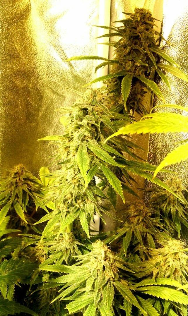 Kong Ox Regular Seeds | Cannabis seeds