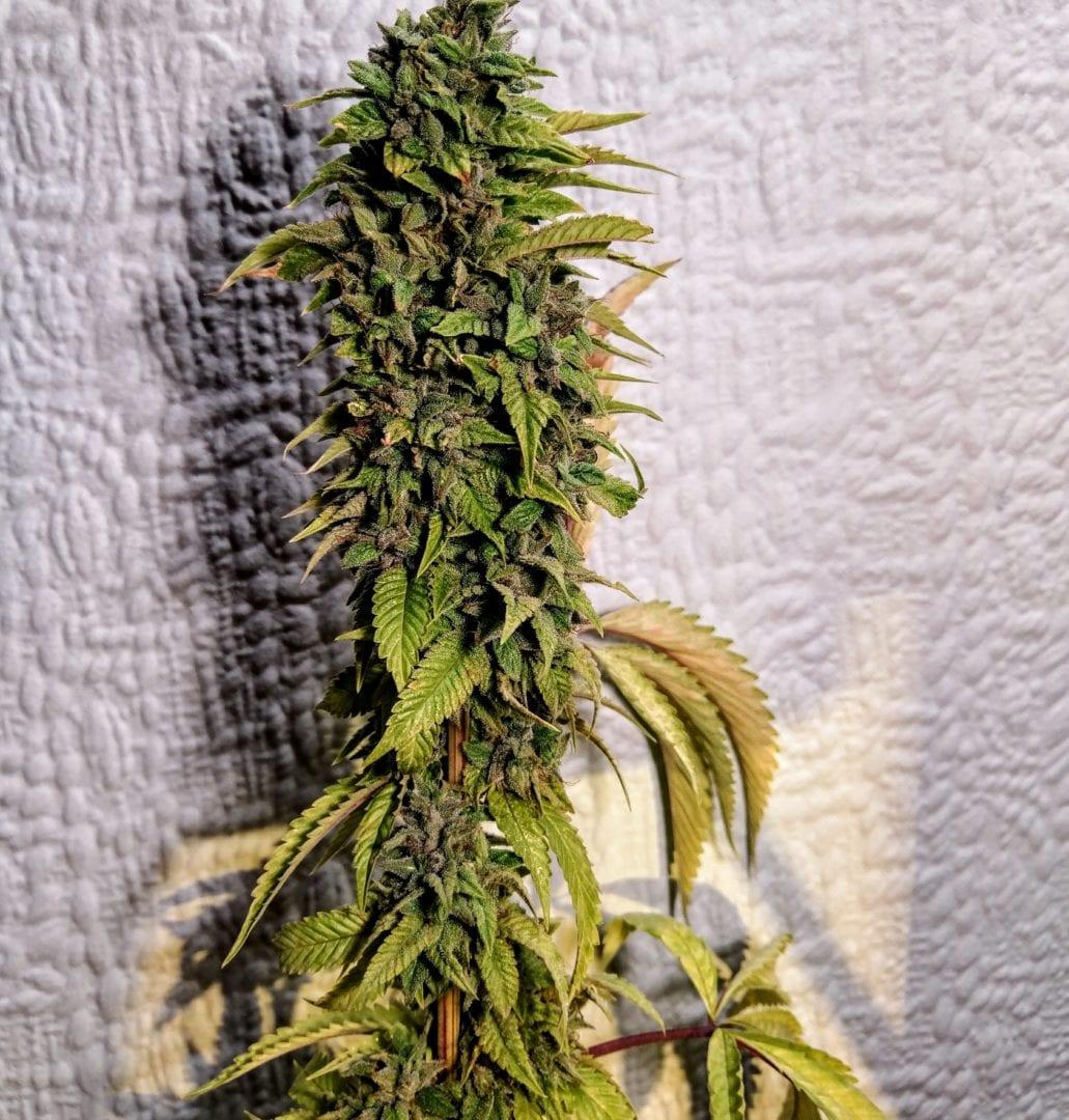 London OG | Cannabis seeds