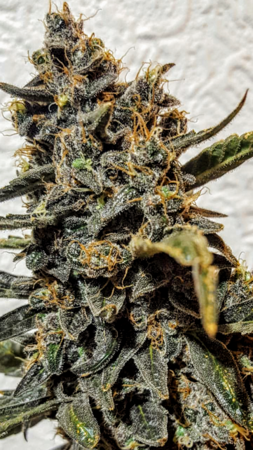 Strawberry Bubba Diesel | Cannabis seeds