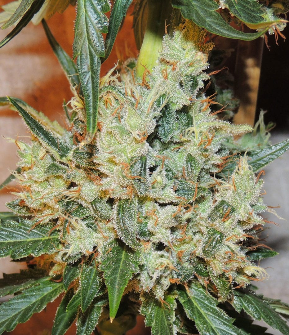 White Sumo | Cannabis seeds