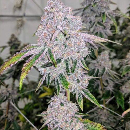 Octane Mint Sorbet by Seed Junky Genetics