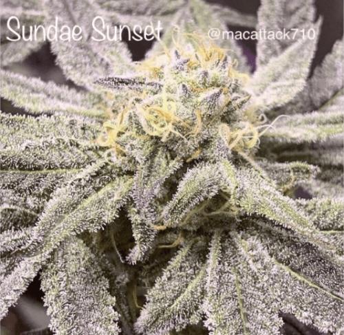 Sunset sundae seeds by Cannarado