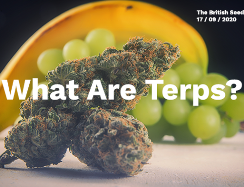 What are Terps? | Role of Terpenes and the Entourage Effect in the Cannabis Industry